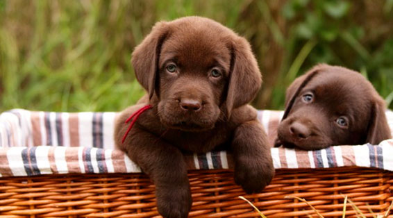 Chocoate Lab puppies in a wicker basket