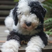New dog in the neighbourhood :) Sheepadoodle Parker!