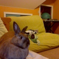 Dwarf rabbit from Pets West - Best bunny ever!