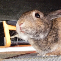 Saige the dwarf bunny loves to hide under the coffee table!